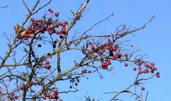 Hawthorn Tree Branch Hawthorn Branch 1 Seq Web