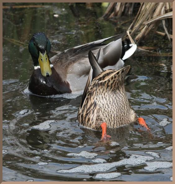 Male and female mallard duck - photo#19