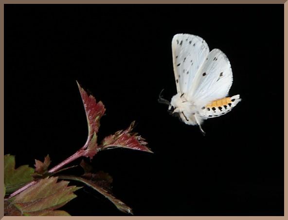 White Moth Flying on Bats An Animal Study