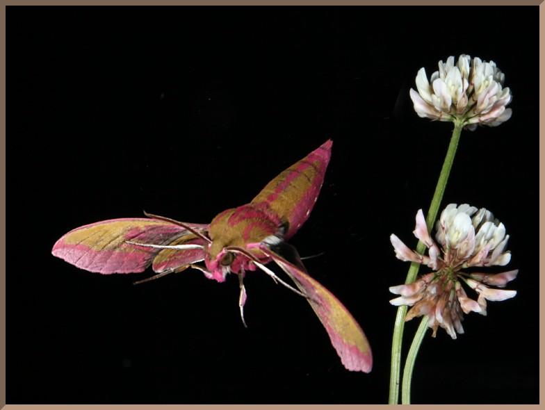Elephant hawk moth flying