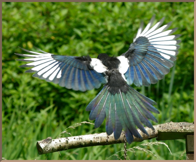 Magpie landing - photo#15