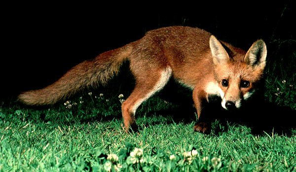 Mammals Foxes